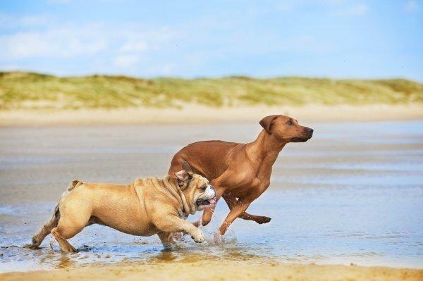 Zwei Hunde rennen am Strand
