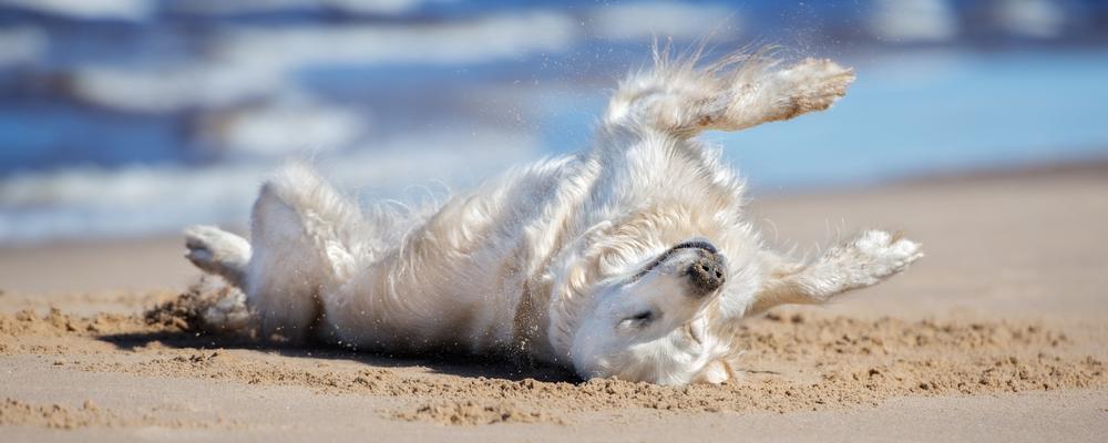 Hund liegt am Hundestrand in der Bretagne